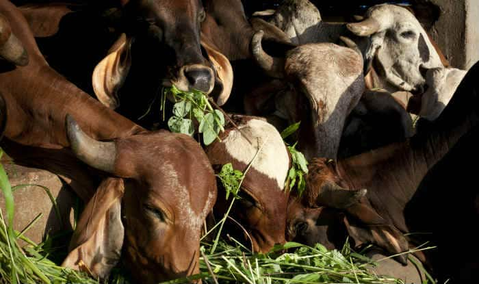 Avoid cow slaughter in larger interest, Ulema tells Muslims
