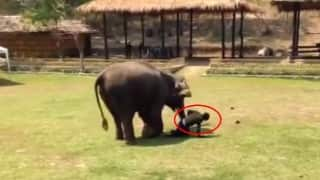 This man falls down in the zoo and the elephant runs towards him. What happens next?