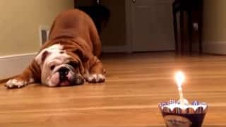 LOL! This bulldog getting scared of a little cupcake is hilarious!