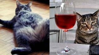 OMG! इस बिल्ली ने तो 3 बोतल शराब गटक गई