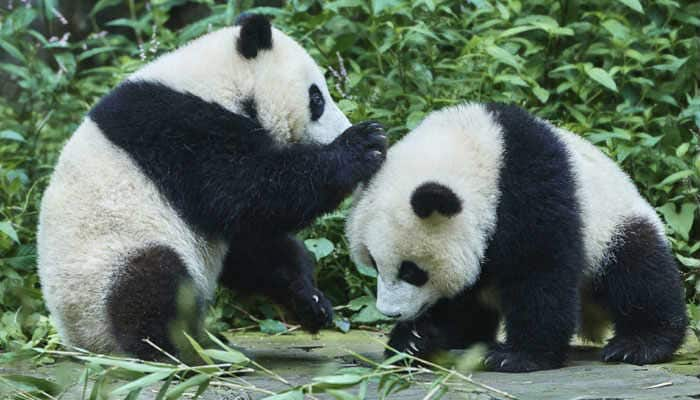 Wild Pandas in China turn carnivorous, fight for meat - India.com