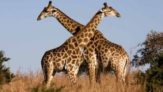 Mystery of giraffe's long neck solved