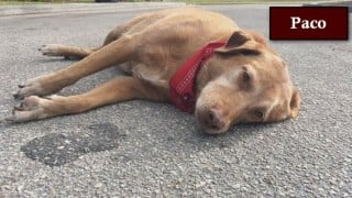 Touching! Loyal dog Paco stays by owner's body after car crash in Florida