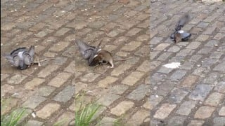 Rat vs. Pigeon; who will win?