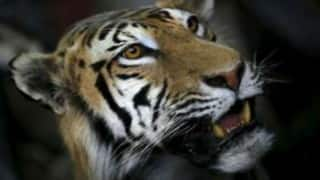 Two arrested with tiger skin in Assam