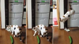 LOL! Cats getting spooked by harmless cucumbers is the funniest thing ever!