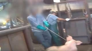 Animal Abuse at its worst: Undercover operation shows brutal reality of Pig slaughter