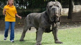 Must See: Top 10 Biggest Dogs in the World!