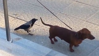 Domination: Crow annoys Dog knowing that it is on leash! (Video)