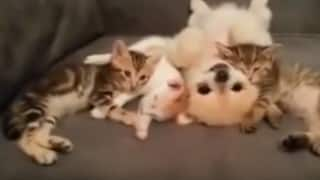 Thoughtful Dog is careful not to disturb sleeping Cute Kittens! (Video)