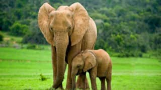 Villagers give Right of Passage to elephants in Assam