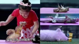 Mysterious! Little Chinese girl hypnotizes animals and puts them to sleep (Watch video)