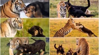 Aww! The bond between German shepherds & endangered Siberian tigers will give you new friendship goals
