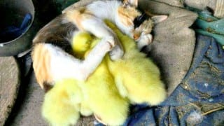 This cat adopted ducklings thinking they are kittens and the result is so cute!