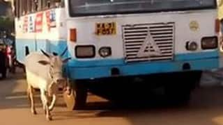 This cow escorts the bus driver that killed her calf daily at the crossing and makes sure he drives safely!