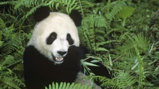 Rare wild giant panda rescued in China