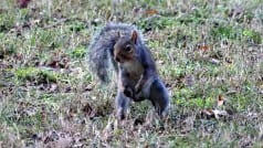 Ninja squirrel gets past traps to steal bird food