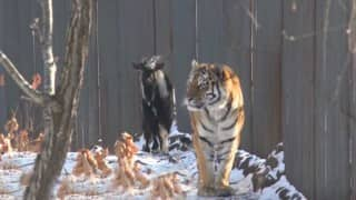Tiger befriends goat meant to be his dinner