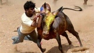 Centre allows Jallikattu; celebrations erupt in Tamil Nadu