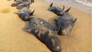 Tamil Nadu: 400 whales washed ashore in Tuticorin; 25 dead as environmentalists investigate reason! (Watch video)