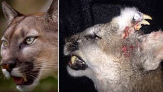 This mountain lion has a fearsome set of teeth on its forehead!