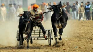 Five held for organising bullock-cart races in Maharashta