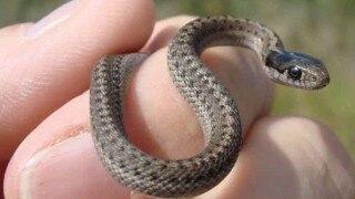 Nesting season of snakes begin in Bhitarkanika national park