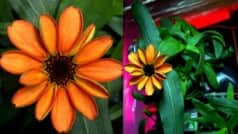 NASA astronaut Scott Kelley tweets images of first ever flower grown in space!