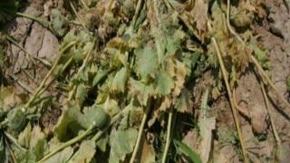 Poppy crop in 700 acres destroyed in Malda
