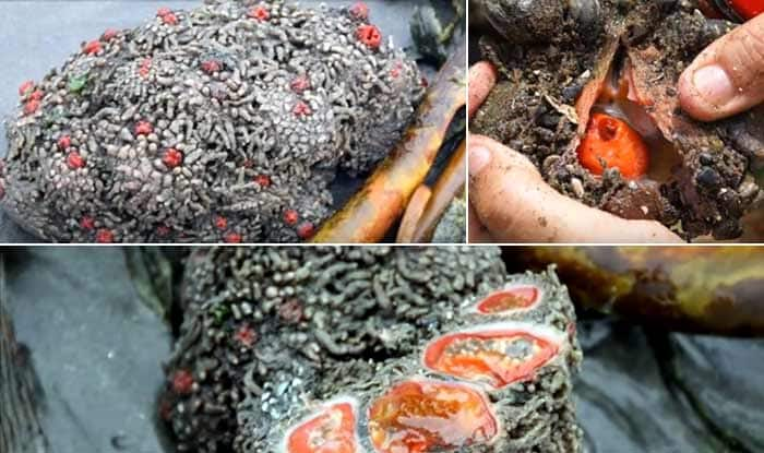 This bizarre looking rock is a living sea creature called ...