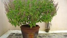 Tulsi Plant: घर के किस कोने में रखना चाहिए तुलसी का पौधा, साथ ही ध्यान रखें कुछ जरूरी बातें
