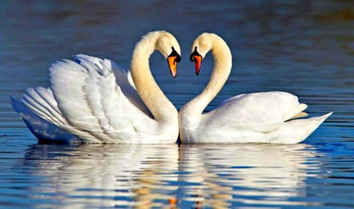 Love swans dating site review