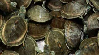 800 turtles recovered