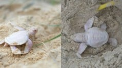 Meet Alby, Rare albino turtle found in Australia is new internet sensation! See Pictures