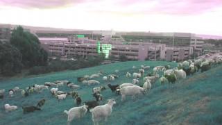 Google ने 200 बकरियों को बनाया अपना एम्प्लॉय, देखें वीडियो