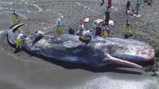 Sperm whale washes ashore on Odisha coast