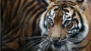 Man dies in Tiger attack