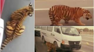 OMG! Tiger cub spotted roaming in Doha traffic jam (Watch video)