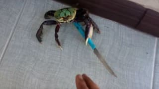 Gangster crab! Video of crab holding knife goes viral (Watch video)