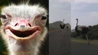 Terrifying! Giant white ostrich chases down cyclists (Watch video)