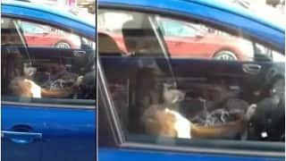 Honk! This dog kept blasting the car horn sitting at the wheel