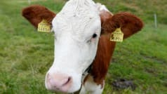 This man's cow went missing; what he did to get it back will leave you surprised!