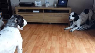 Two dogs risking their friendship over a tennis ball is hilarious! (Video)