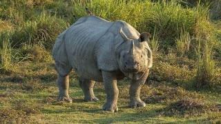 काजीरंगा राष्ट्रीय पार्क में तस्करों ने किया गैंडे का शिकार