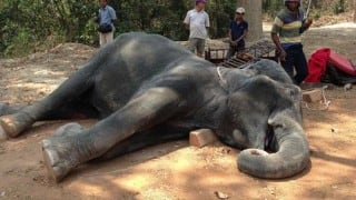 Asia's 'granny' jumbo elephant to be felicitated; eyeing Guinness entry