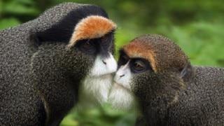 Primate monkey species, 'white-cheek Macaque' discovered in Arunachal Pradesh