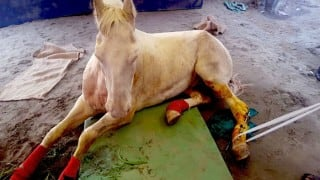 Shaktiman can walk again with American prosthetic legs