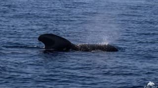 Mexico: 24 pilot whales die after beaching in Baja California