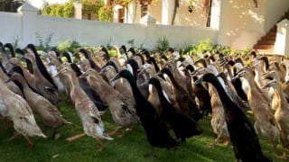 Aww! These cute ducks going to work will remind you of your morning rush - but in a good way!