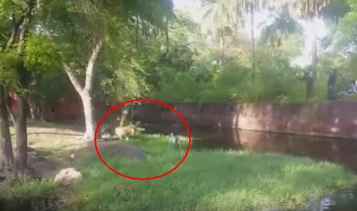 Crazy Indian Man Jumps In Lion S Cage In Hyderabad Zoo For A